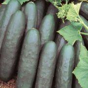Pepino Hibrido Targa (Salada)