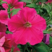 Petúnia Pendente Plush Rose