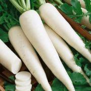 Rabanete Branco (White Icicle)