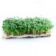 Rúcula (Microverdes)