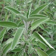 Sálvia (officinalis)