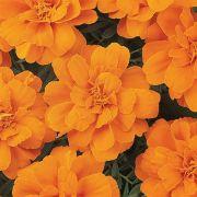 Tagetes Durango Tangerine