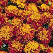 Tagetes Tiger Eyes