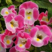 Torênia Kauai Rose
