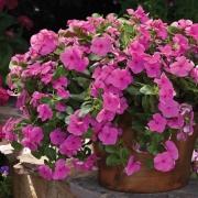 Vinca Pendente Cora Cascade Lilac