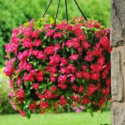 Vinca Pendente Mediterranean Hot Rose