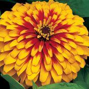 Zínia Swizzle Scarlet & Yellow
