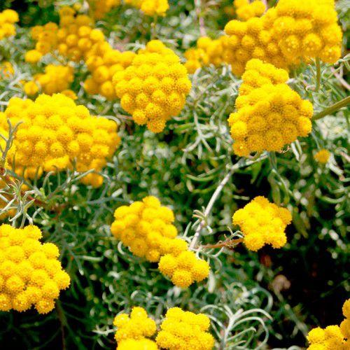 Ageratum Amarelo (Lonas)