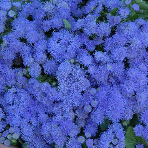 Ageratum Blue Mink (agerato)