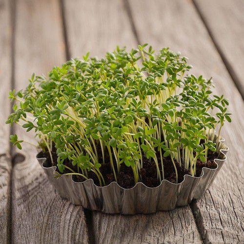 Agrião do Seco (Microverdes)