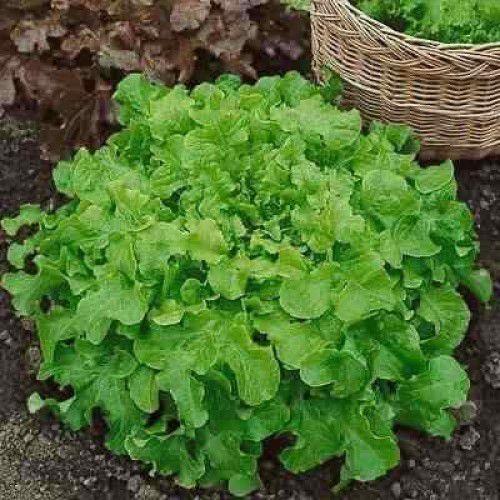 Alface Mimosa (Salad Bowl)
