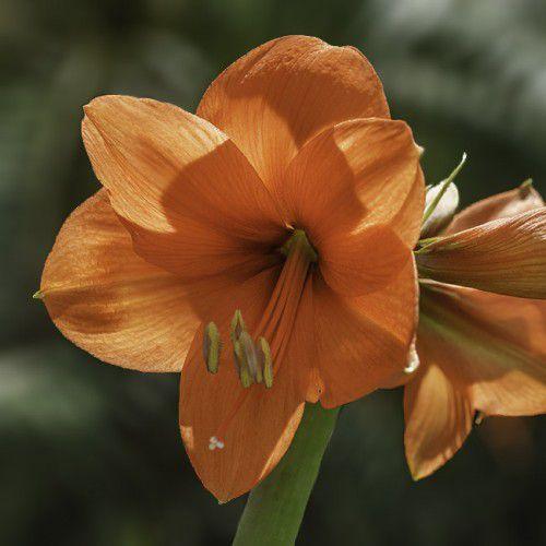 Amarílis Orange Sovereign