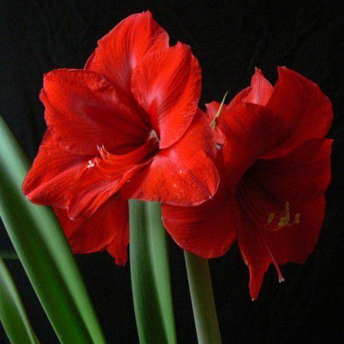 Amarílis Red Knight