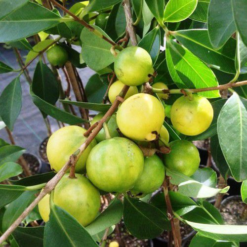 Araçá amarelo (China-guava)