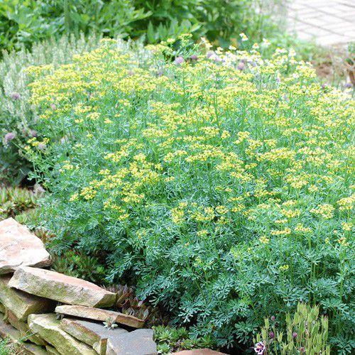 Arruda Cheiro Forte (400 sementes)