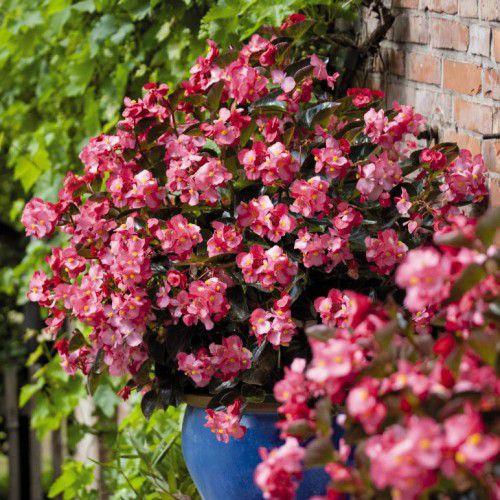 Begônia BIG rosa