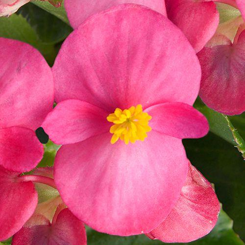 Begônia Eureka Rosa