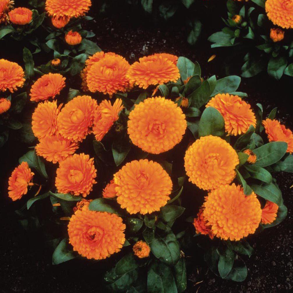 Calêndula Bon Bon Orange