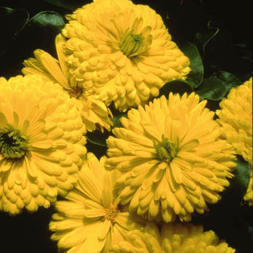 Calêndula Bon Bon Yellow