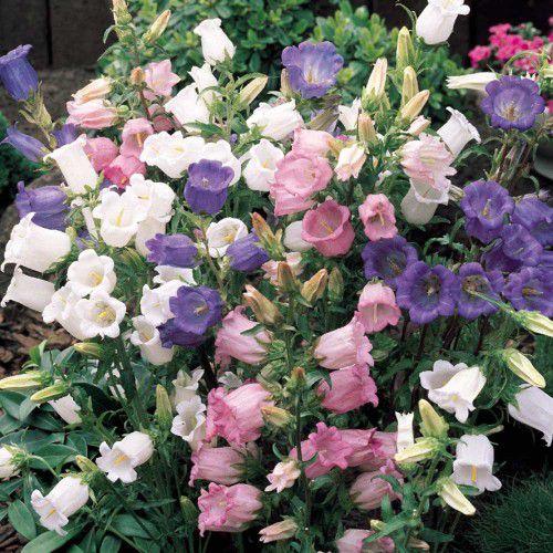 Campânula Dobrada (Flor de Sino)