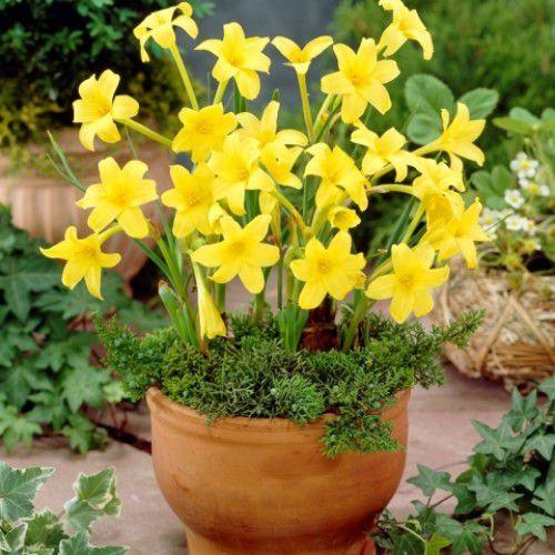 Chlidanthus Fragrans Amarelo (Lírio De Fadas Perfumado)