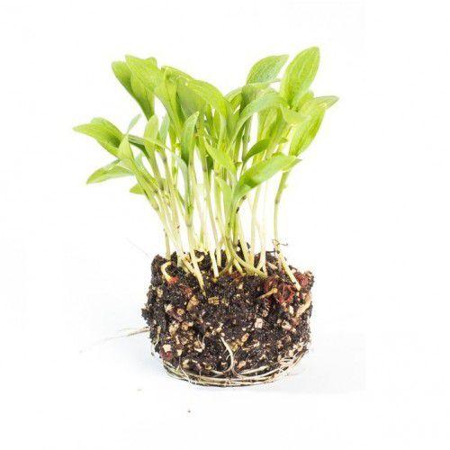 Coentro Verdão (Microverdes)