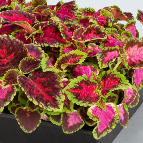 Coleus Fairway Mix
