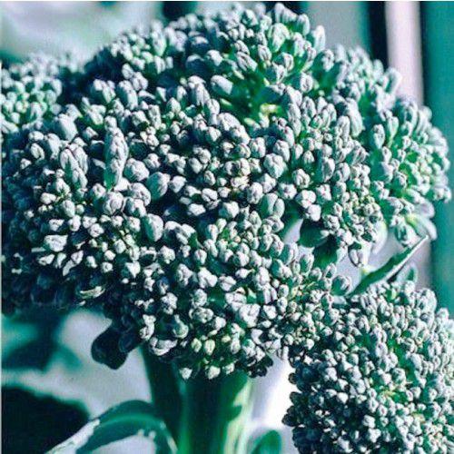 Couve Brócoli Piracicaba (Precoce)