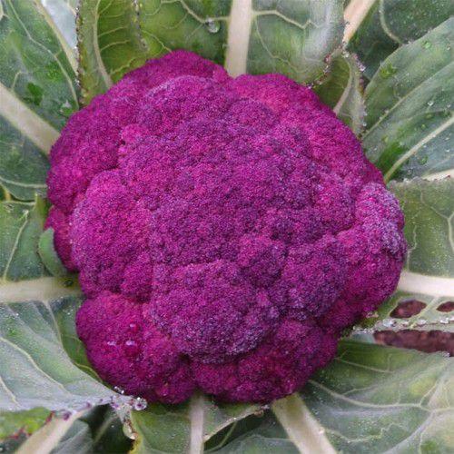 Couve Flor Roxa (inverno)