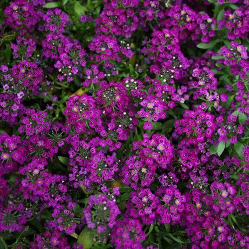 Doce Alyssum Wonderland Deep Purple