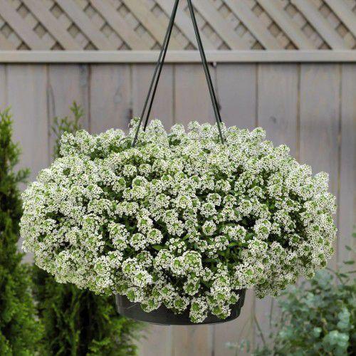 Doce Alyssum Giga White (Flor de Mel)