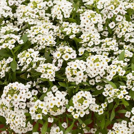 Doce Alyssum North Face White (Flor de Mel)