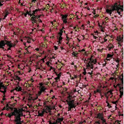 Doce Alyssum Wonderland Deep Rose
