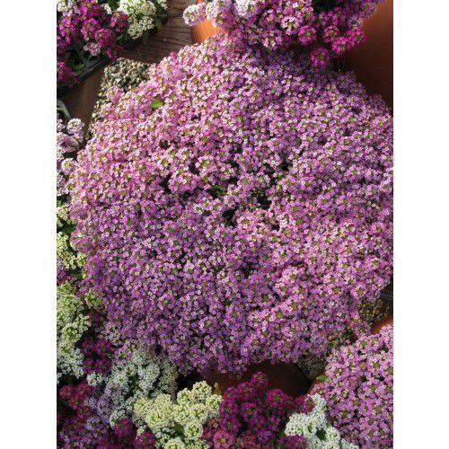 Doce Alyssum Wonderland Mix (Flor de Mel)