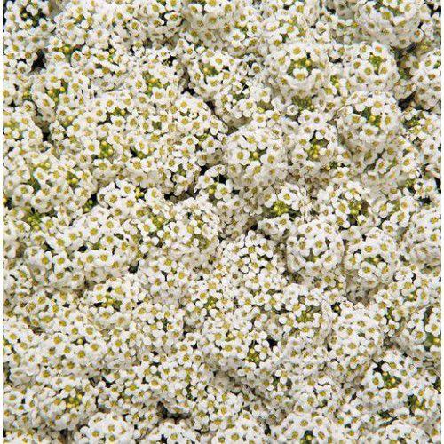 Doce Alyssum Wonderland White (Flor de Mel)