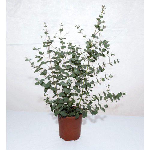 Eucalipto Silver Drop