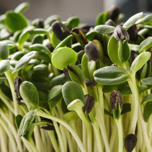 Girassol (Microverdes)