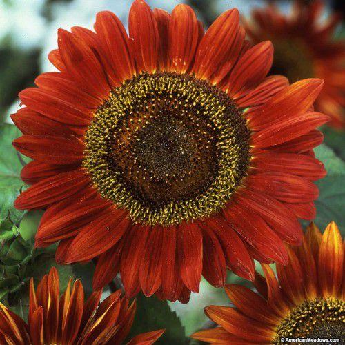 Girassol Red Sun