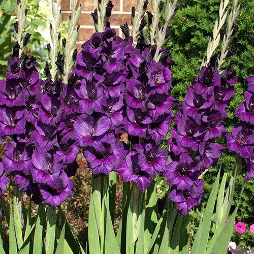Gladíolo Purple Flora