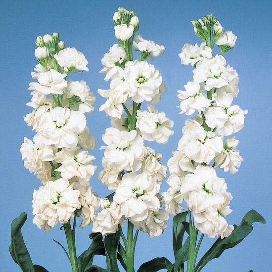 Goivo Cheerful White