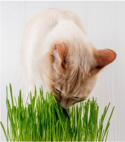 Grama Félix (para gatos)