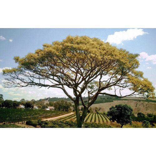 Guapuruvu (Ficheira)