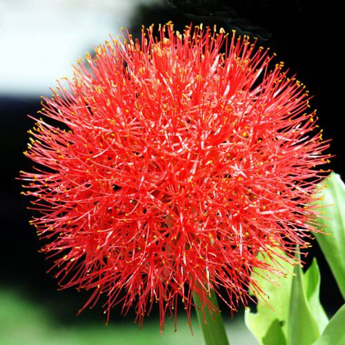 Haemanthus (Flor de Natal)