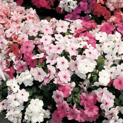 Impatiens Accent Mix
