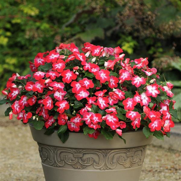 Impatiens Super Elfin Red Starburst