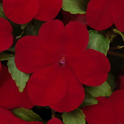 Impatiens Super Elfin Ruby