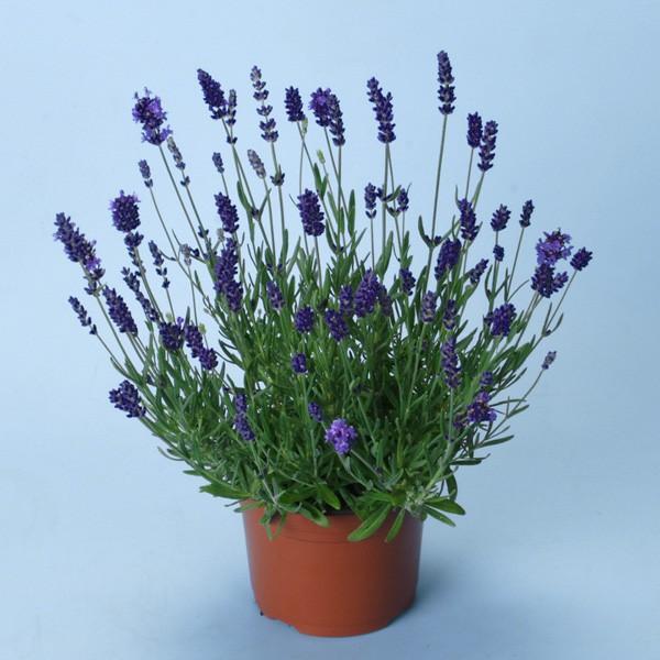Lavanda Ellagance Purple (Alfazema)