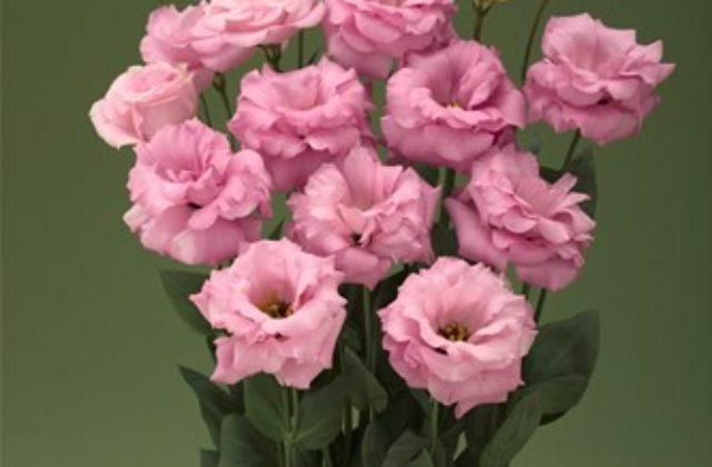 Lisianto Arena Hot Pink (lisianthus)