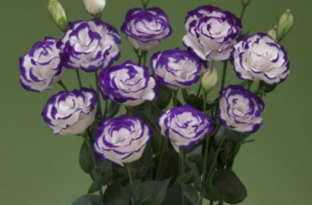 Lisianto Arena Purple Picotee (lisianthus)