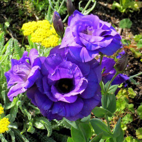 Lisianto Borealis Blue